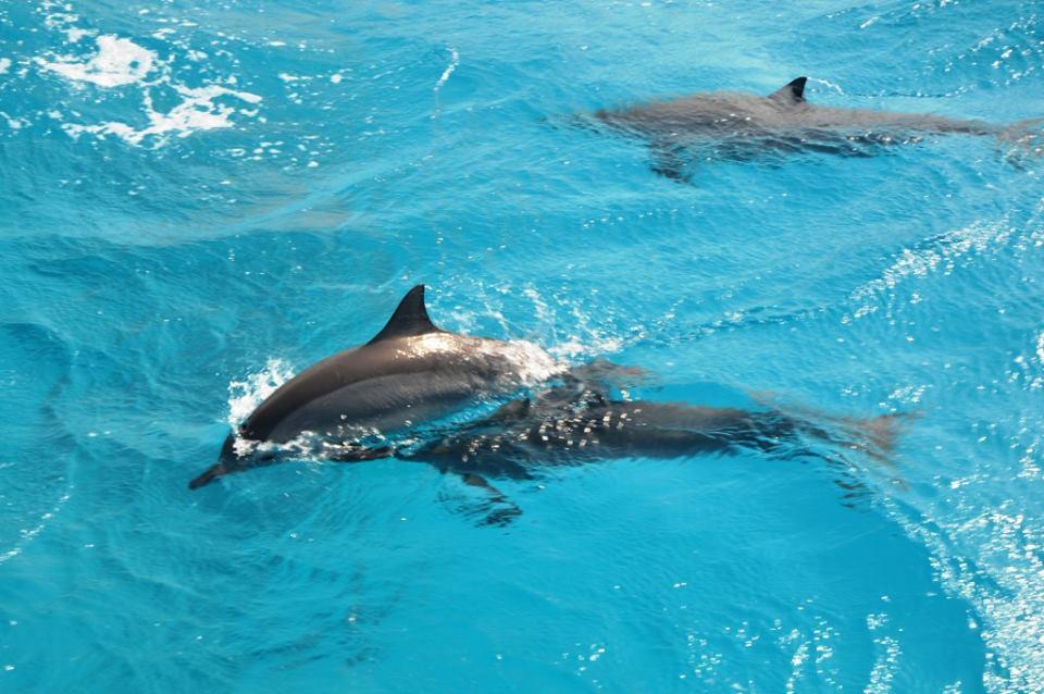 Delfin-Tour - Mit Delfinen schwimmen ab El Gouna